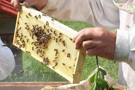 Стала известна причина гибели пчел в нескольких районах Башкортостана