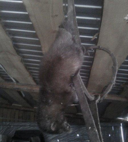 Охота на чупакабру в Башкортостане: неизвестный губитель домашних кур угодил в капкан