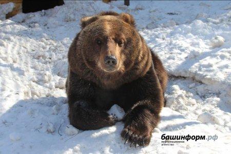 «Он бешеный!»: жителей Башкортостана напугал проснувшийся медведь