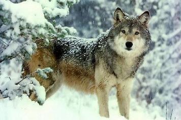 Оснований говорить об увеличении численности волков в Башкортостане нет - эксперт